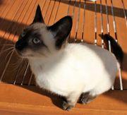 Birma-Siam Kitten sucht liebevolles Zuhause