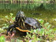 Suche europäische Sumpfschildkröten