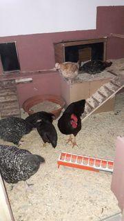Hühner mit guter Legeleistung