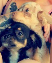 2 süße Chihuahua Welpen m