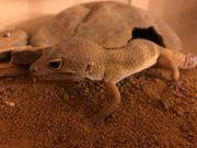 Leopardgecko Männchen Nachzucht 16