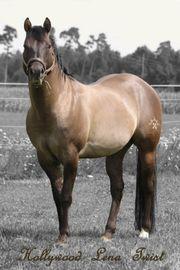 Quarter Horse Hengst Deckanzeige