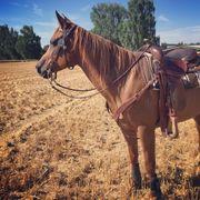 Tolles Pferd sucht zuverlässige Reitbeteiligung