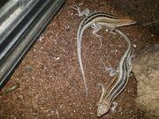Trachylepsis Madagascariensis Paar