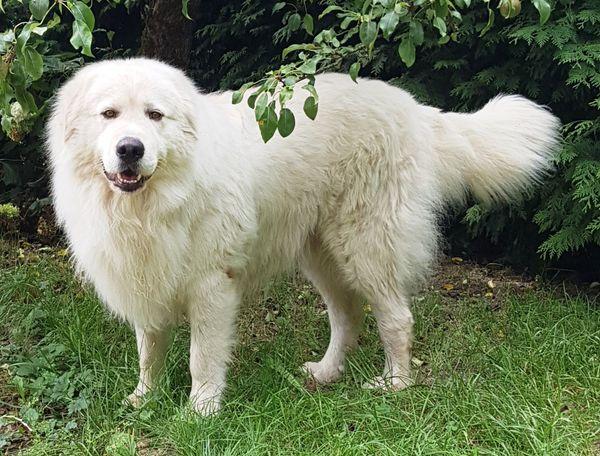 Maremmano Abbruzzese Herdenschutzhund Deckrüde Kein