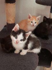 Ragdoll Mix Kätzchen