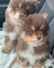 Pomeranian Welpenwhatsapp 4915 2114 47907