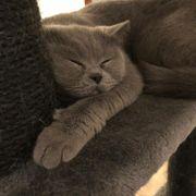 BKH Katze sucht neues zuhause