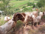 Verkaufe Ziegen oder ganze Herde