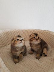 Süße BKH Kätzchen suchen eine