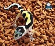 Leopardgecko Bold Stripe Weibchen NZ