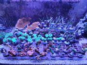 Korallen Ableger Meerwasser Anemonen