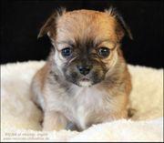 Typvolle Chihuahuawelpen - mit Ahnentafel kurz-
