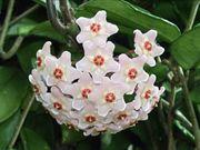 Wachsblume Porzellanblume Hoya Carnosa