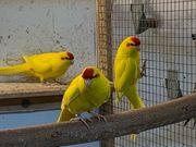 Ziegensittiche gelb