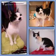 Katze Merle 1-2 Jahre geimpft
