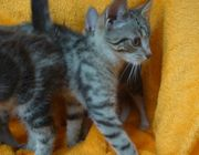 Wunderschöne BKH Mix Katzenbabys getigert