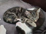 Kätzchen herzallerliebst 12 Wochen
