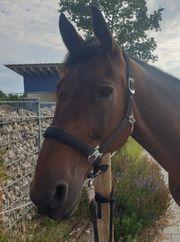 Pferd sucht Reiter in Ittenhausen