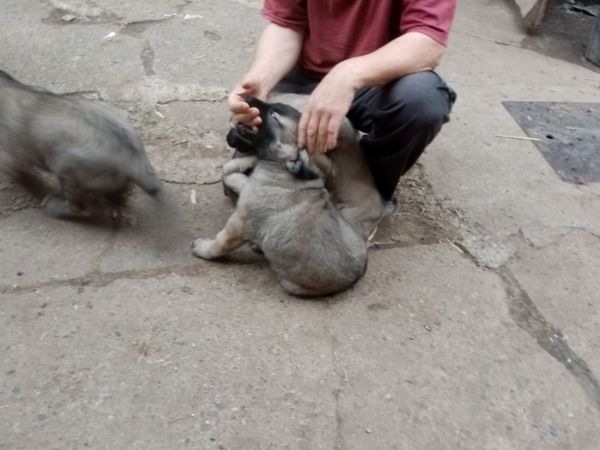 Kangalwelpen zu verkaufen