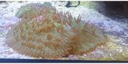 Fungia Koralle Merwasser ableger