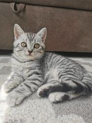 Kitten Bkh Katze Kater