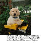 Wunderbare Labrador Retriever Welpen zu