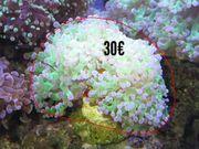 Meerwasser LPS Euphyllia Korallen