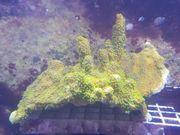 Meerwasser Montipora Hofmeisteri 15x18cm