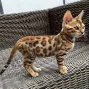 suche weibliches Bengal Katzenbaby