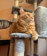 Deckkater Maine Coon Red