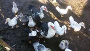 Bestellungen Gänse und Enten für