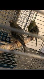 Nordholländer Kanarienvögel