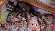 Maine- Coon- Mix- Kitten