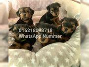 Yorkshire terrier welpen mini super
