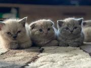 9 kleine BKH Kätzchen