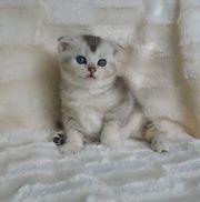 Wunderschöne BKH Scottish Fold Kätzchen