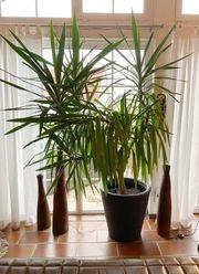 Palme - Zimmerpflanze