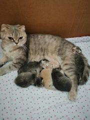 bkh kitten reinrassige