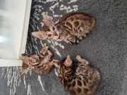 Bengalkitten Katzenbabys Babykatzen