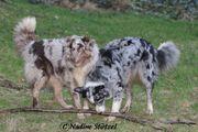Wir erwarten traumhafte Australian Shepherd
