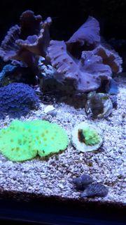Ohrenlederkoralle neon grün selten