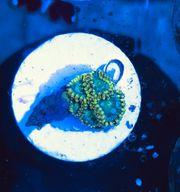 Zoa - Zoanthus Radioactive - 12 Polypen -