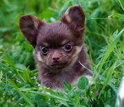2 reinrassige Chihuahua Mädchen