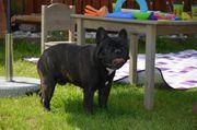 Wunderschöne Französische Bulldoggwelpe