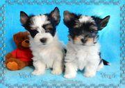 Süße Biewer Yorkshire Terrier Welpen