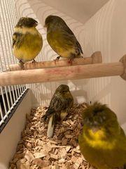Gloster Kanarienvögel Männchen
