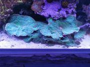 echinopora lamelosa