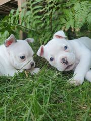 Traumhafte ähnl Französische Bulldoggen welpen