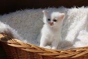 Katzenbaby BKH/ BLH